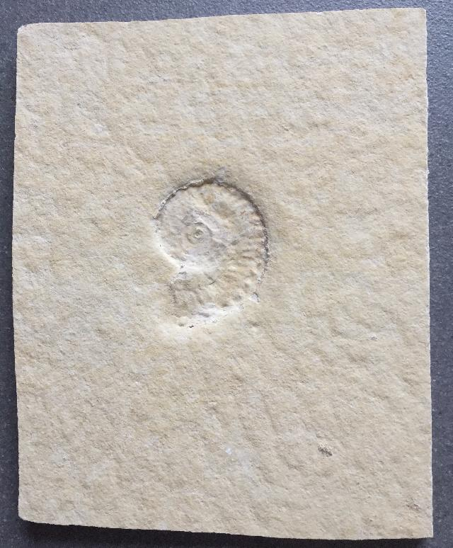 Taramelliceras (Fontannesiella) prolithographicum Bild ©