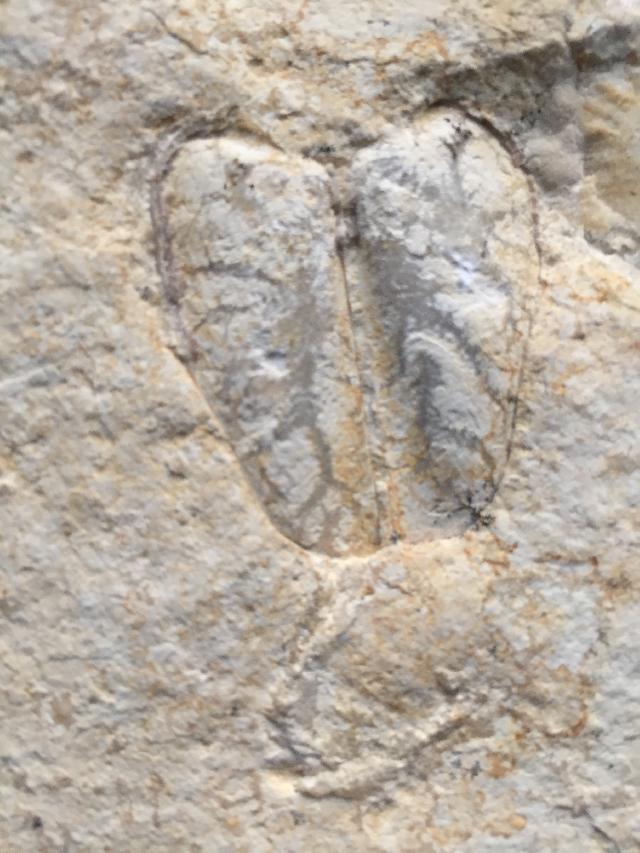 Taramelliceras (Fontanesiella) prolithographicum Bild ©
