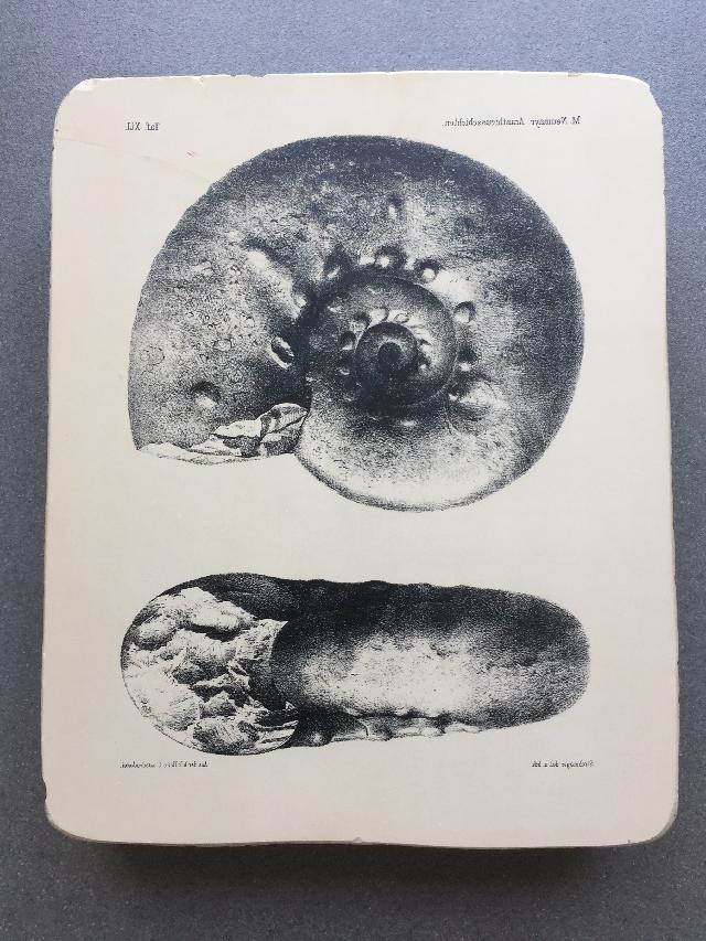 M. Neumayr Acanthicusschichten  Tafel XLI   Bild ©
