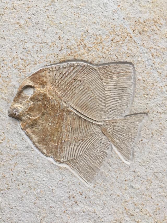 Turbomesodon relegans Bild ©