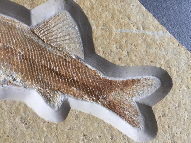 Furo (longimanus) longiserratus Bild ©