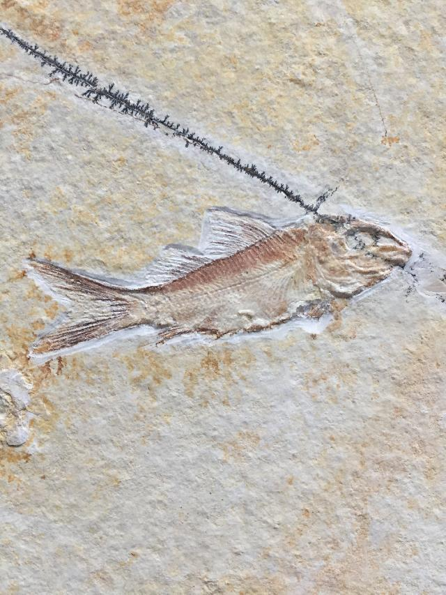 Propterus elongatus Bild ©