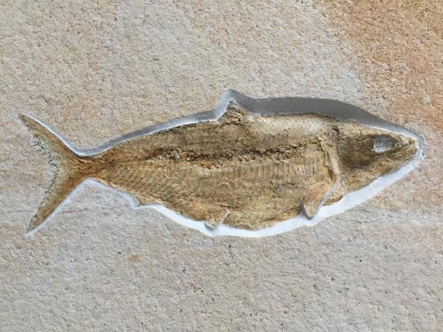 Pholidophorus macrocephalus Bild ©