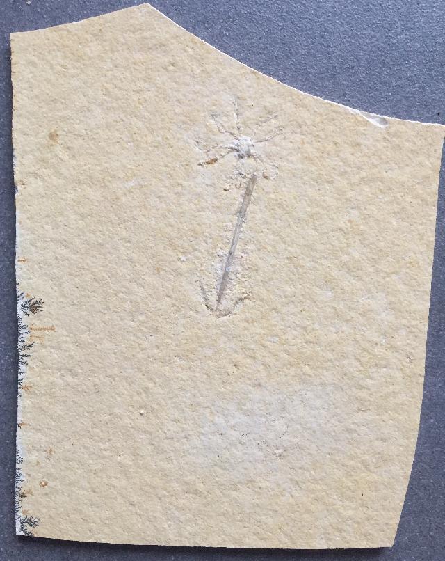 Palaeololigo albersdoerferi Bild ©