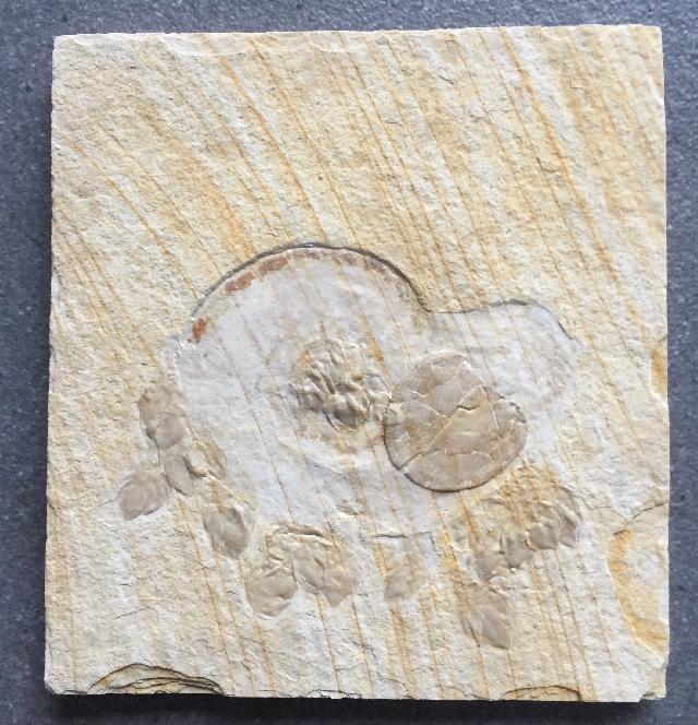 Physodoceras hermanni Bild ©
