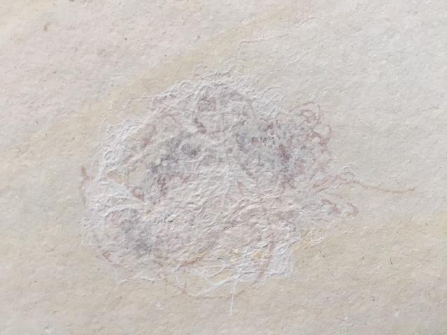 Cyanophyceae   Bild ©