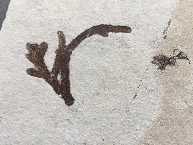 Athrotaxites lycopodioides Bild ©