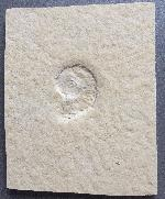 Taramelliceras (Fontannesiella)